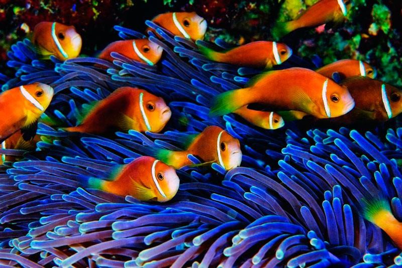 Мальдівські риби-клауни