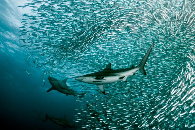Океанічні черноперие акули в бейт-болле