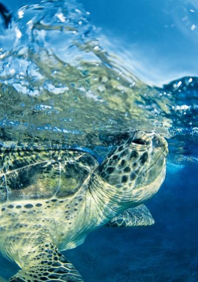 Велика зелена черепаха