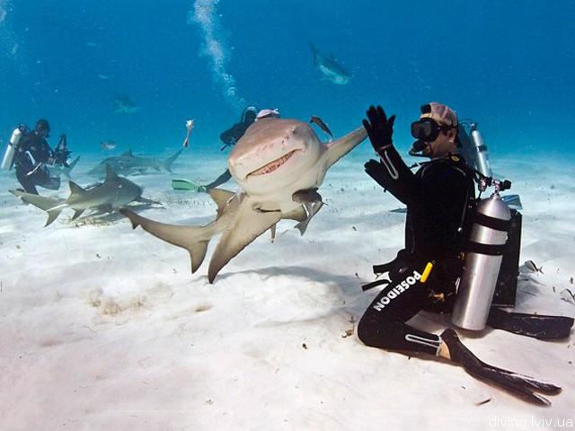 Shark diving. Дайвер «здоровається» з акулою