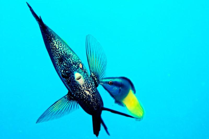 Риба метелик на хвилину завмерла
