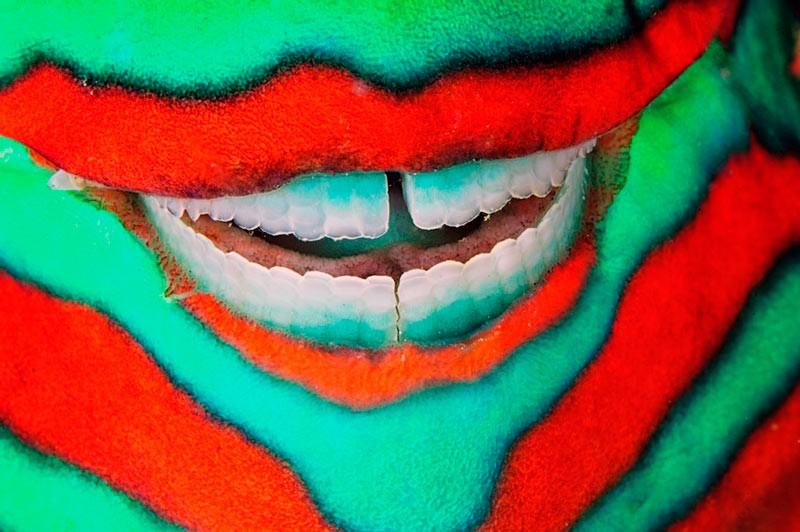 Посмішка посмішка риби-папуги (Scarus frenatus)