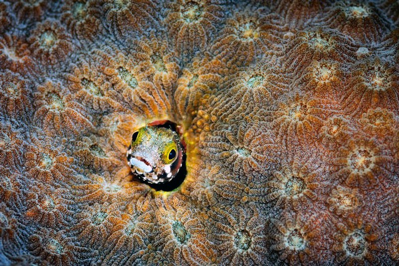 Морська собачка