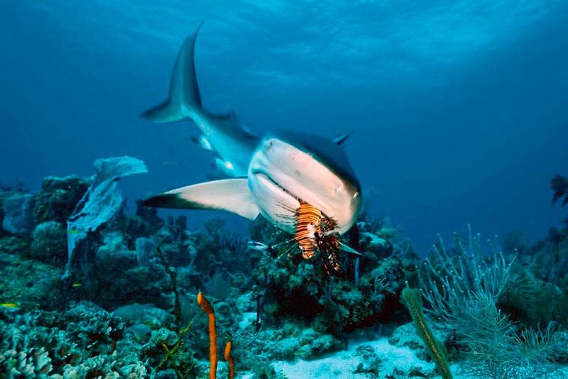 Карибська рифова акула