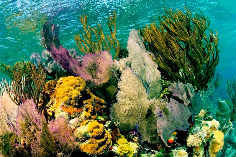 Коралові сади атола на рифі Лайтхаус біля берегів Белізу