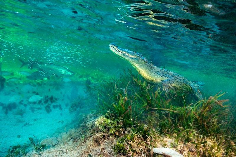 Гостромордий крокодил