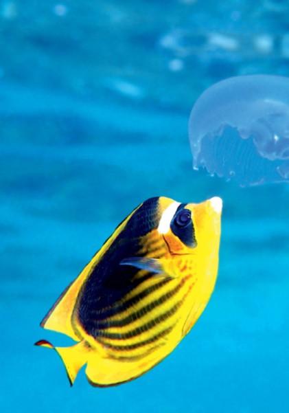 Риба-метелик (Chaetodon fasciatus)