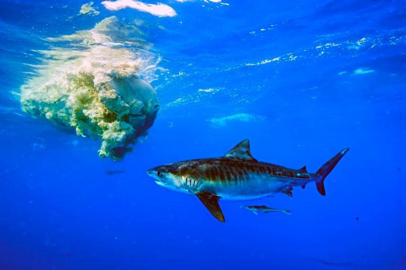 Тигрова акула і дохлий кашалот