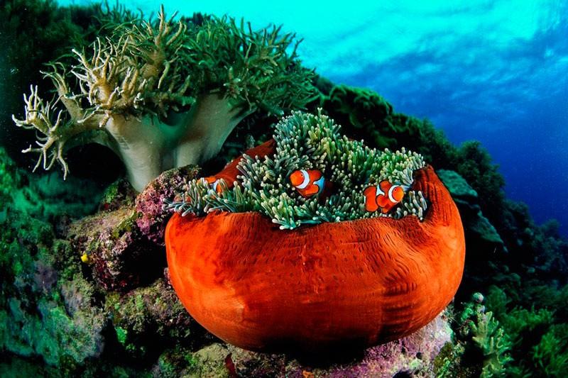 Amphiprion percula (справжній клоун); Heteractis magnifica (актинія чудова), Великий Бар'єрний риф, Австралія