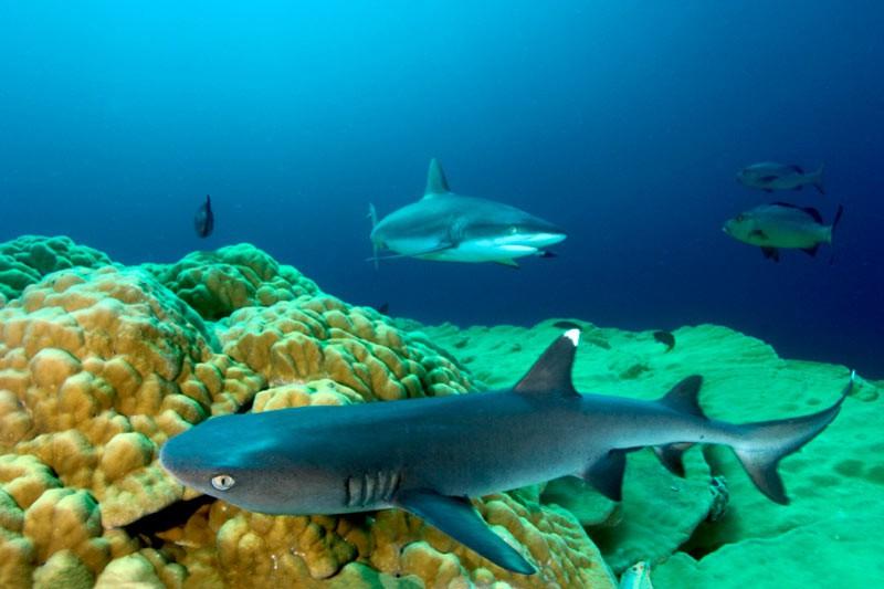 Білопера рифова акула